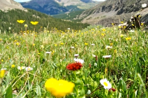 A Wildflower Meadow in the Rockies